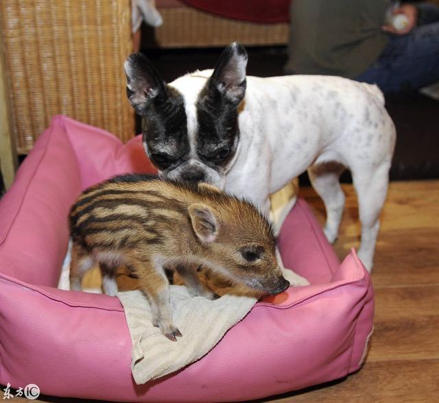看斗牛犬的战斗力! 斗牛犬与野猪的凶猛之战, 到底谁会更胜一筹?