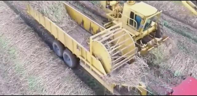收割甘蔗的全过程,分分钟就倒地了,机器横行的时代啊