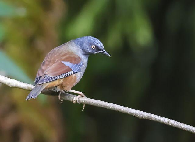 鹨的一种谁知道这种鸟叫什么