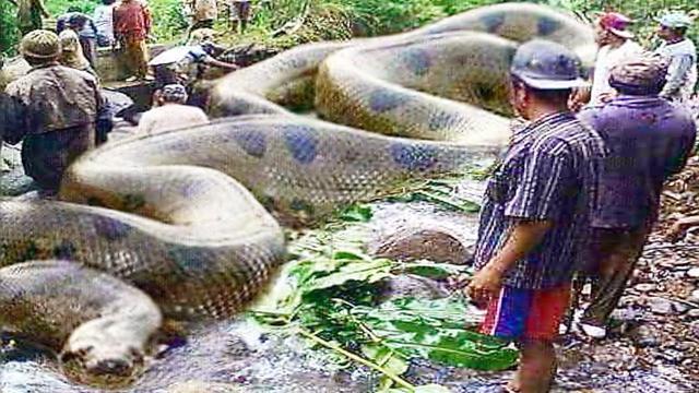 世界上最大的蛇体长超过19米!能轻松吞下一头牛!