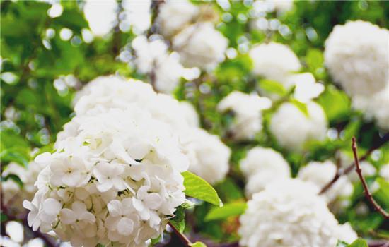 绣球花有毒吗