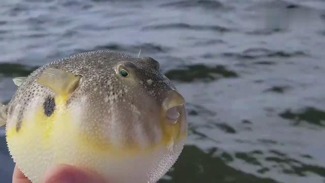 河豚鱼生气时变这样,气鼓鼓的没有半点凶相,太可爱了!