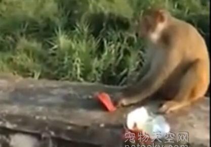 把鞭炮塞在零食里给猴子 男子看到猴子被炸后放声大笑