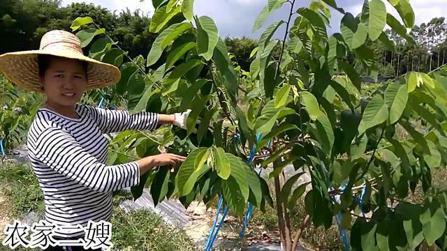 """""""释迦摩尼果""""简介_手机搜狐网"""