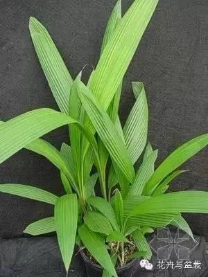 仙茅科植物