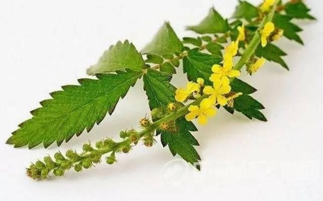 它是餐桌上的美味,地间的杂草,还可以凉血止血,用于各种出血症