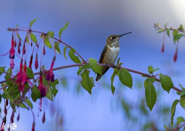 最小蜂鸟图片大全