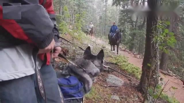 哈士奇跟又高又大的狗玩,还把它当马骑,主人看... _手机网易网