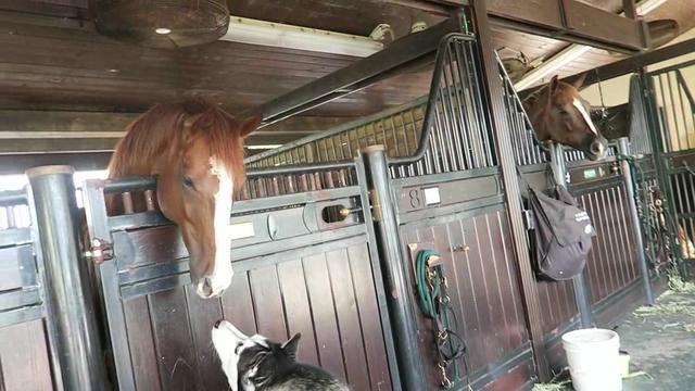 主人带哈士奇去看马,几分钟不见的二哈竟然学会了骑马。。。