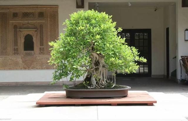 榕树的特点:寿命长、生命力强、树形独特_植物之家