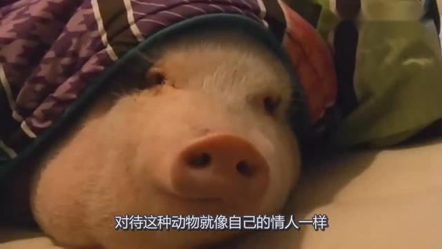 女子把300斤重的猪当宠物,四年间同吃同住,网友:活的不如猪