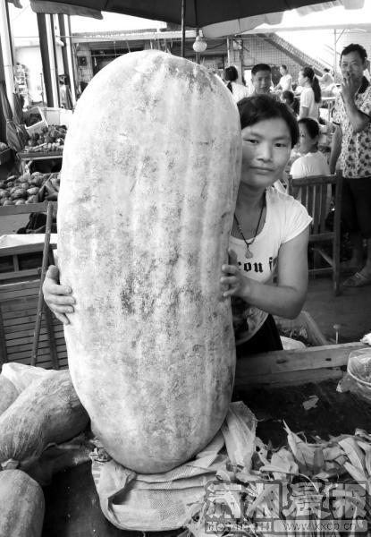 全国最大冬瓜重达447.8斤在浙江杭州问世