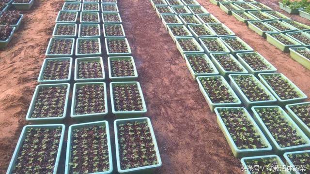 盆栽活体蔬菜之补血神菜一紫背天葵,真正野生品种,可持续采收