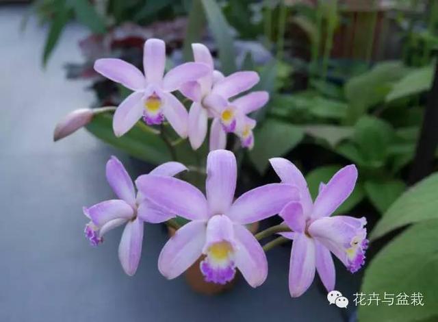 70种兰花名字配图,春节快到了,到花店带心爱的兰花回家过年吧