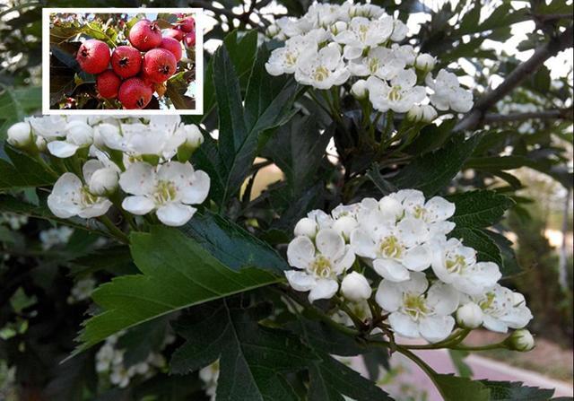11种常见水果,它们的花你认识吗?|阿兮随笔