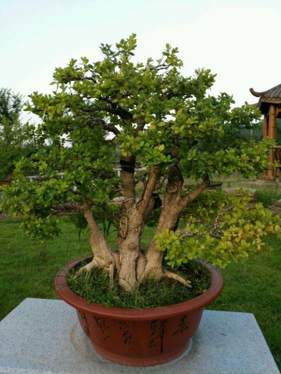 黄杨盆景枝条及主、副干拿弯示范_天天苗木网