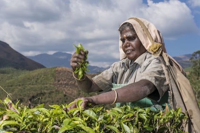 谁动了我的茶叶——印度如何在19世纪将中国的茶产业逼入了绝境