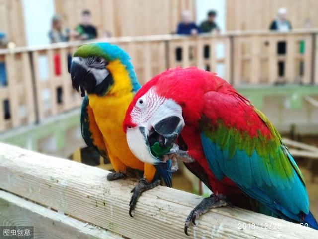 养宠物就养这4种鹦鹉,简单好养活,而且寿命都非常的长