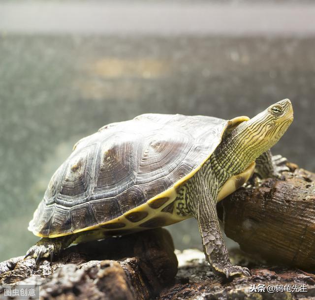 乌龟腐甲病图片