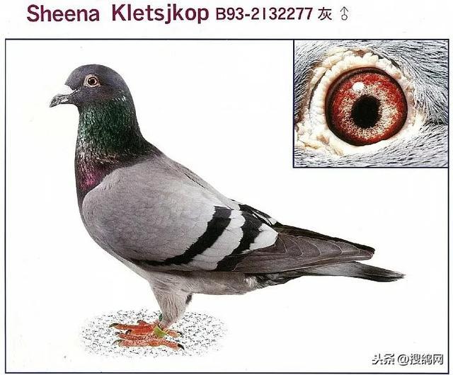 戈马利黄眼种鸽图片