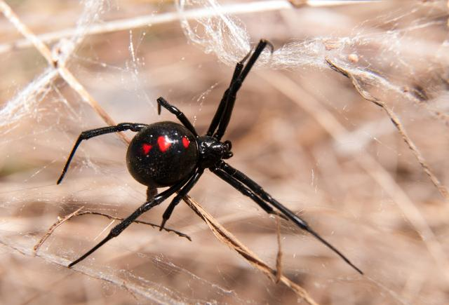 毒蜘蛛咬伤伤口样子