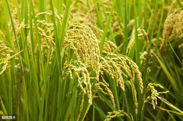 水稻卡通图片