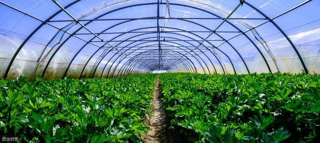 山东小伙投资大棚种蔬菜,亩产量高达3万斤,看看一年能赚多少钱