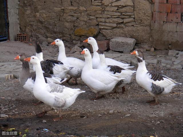 农村老人说有鹅的地方,就不会有蛇,蛇真的怕鹅吗?看完明白了
