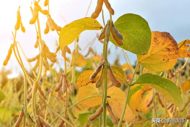 高产大豆优质种植,病虫害综合防治技术,简单实用
