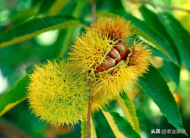 板栗丰产栽培技术,优质高产板栗种植方法,来学学实用种植技术