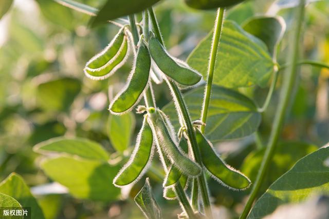 大豆种植技术,及病虫害防治技术,这样做才能保证大豆质量