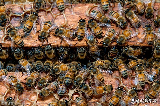 诱蜂,如何在野外诱捕到野蜂群?养蜂师傅:用这3种方法
