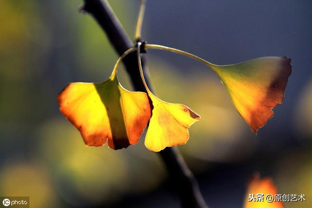 食物语诗礼银杏图片