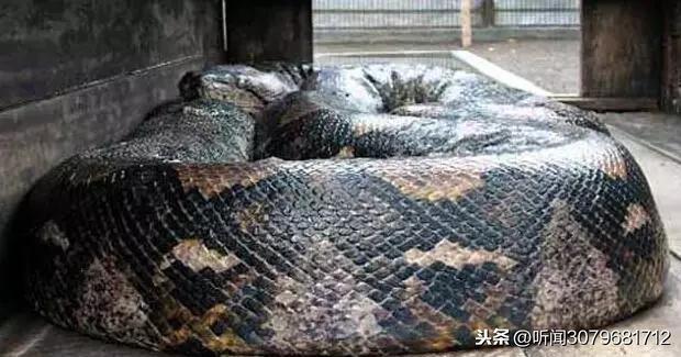 它是蛇界里的巨无霸,和公交车一样大,一口吞下一个人