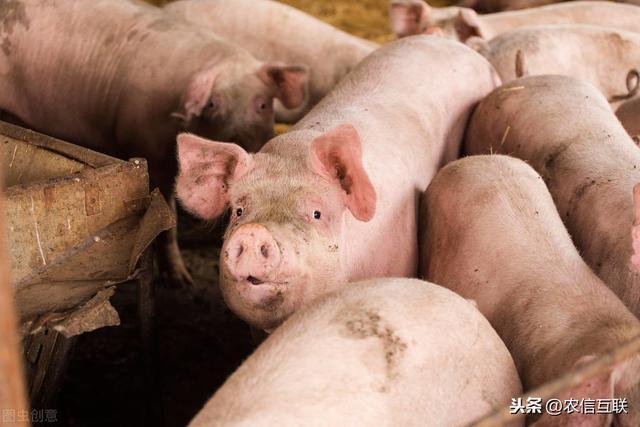 14省猪价飘红,46万吨冻猪肉上市,为何猪价不降反升?