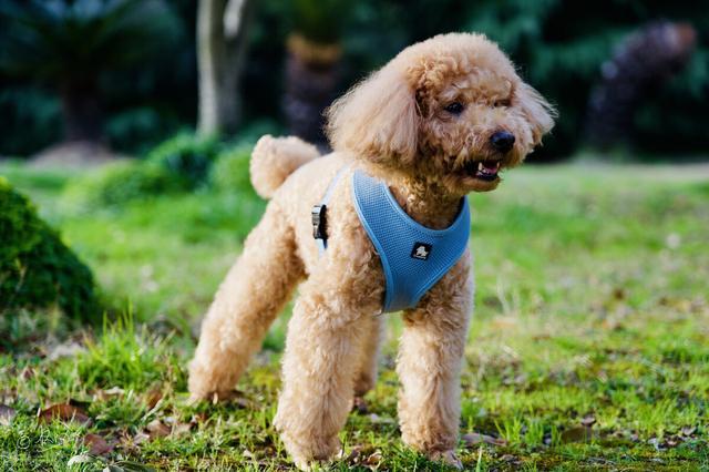 小型宠物狗品种