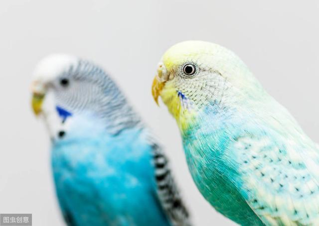 工作太忙又想养鹦鹉?5种便宜又好饲养的鹦鹉,养它们就对了