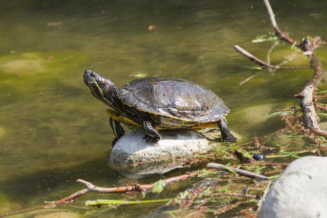 巴西龟怎么分公母 乌龟怎么分公母 巴西龟怎么分公母-123文学网