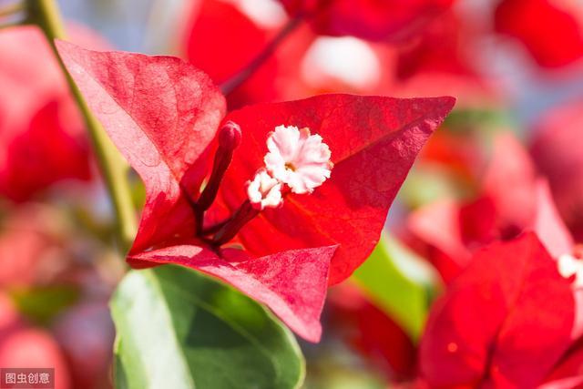 三角梅开花图片欣赏
