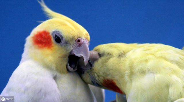 各种鹦鹉特点对比,看看你适合养什么鹦鹉