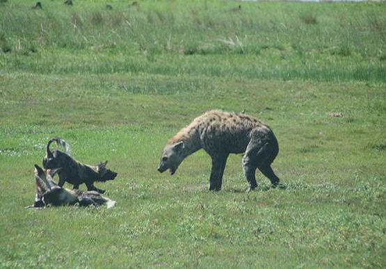 """非洲鬣狗被称""""非洲二哥"""",一招掏肛制霸草原_手机搜狐网"""