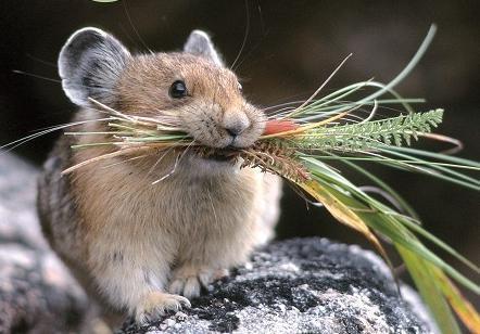 四川科学家9年命名10种哺乳动物 改变鼠兔亚属划分