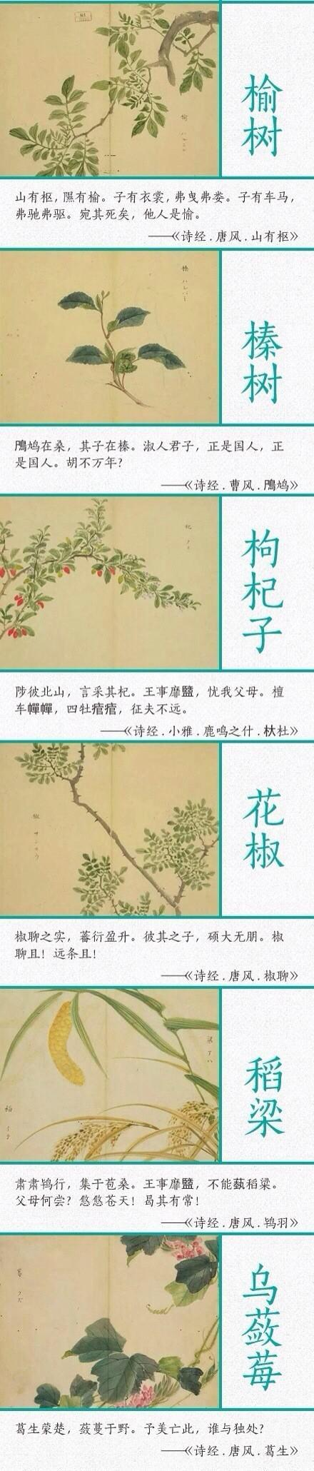 诗经中植物手抄报