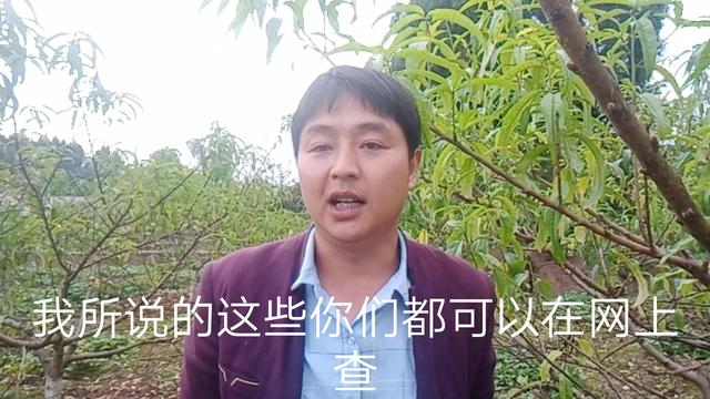 安徽金安脆桃:种了18年的法子该变变了