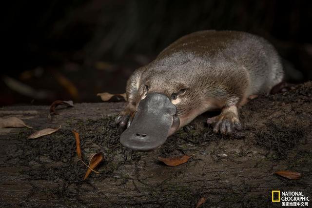 澳大利亚鸭嘴兽,现存最原始的哺乳动物之一,澳... _艺龙旅游指南