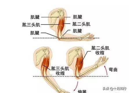 如何用啞鈴高效練手臂?一個動作針對一個頭,無死角刺激手臂肌群