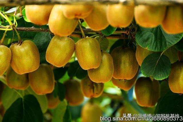 博山猕猴桃保益品牌