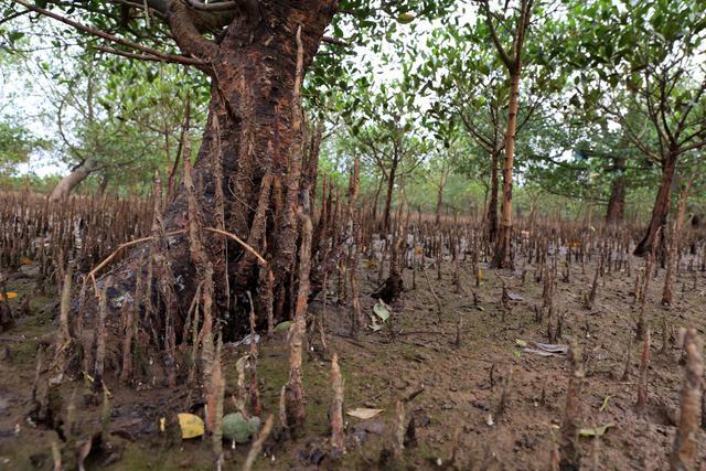 钦州茅尾海,生长着大片红树林,堪称白鹭的天堂