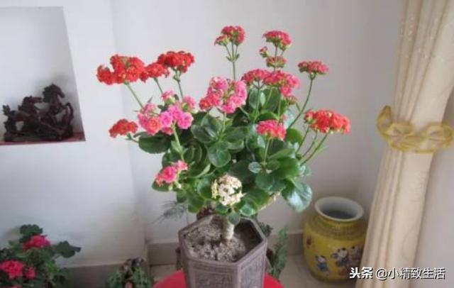 """仙人掌嫁接蟹爪兰已过时,现在流行""""长寿玉树"""",同开5种颜色花"""