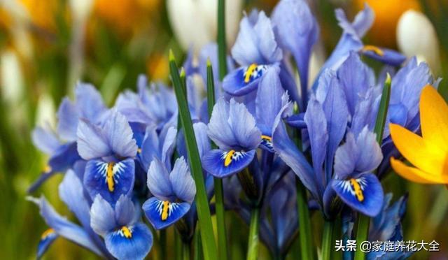 紫色鸢尾花图片